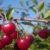 Uprawa drzew owocowych