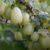 Jabłonie wazowe