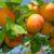 Szkółka drzewek owocowych